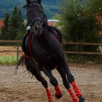 Tinto PRE Hengst vom Andalusier Gestüt Sueno Negro