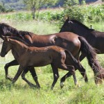 Fohlenaufzucht und Beritt sind Leistungen aus dem Angebot des Andalusier-Gestüts Sueno Negro in Aldingen Krs. Tuttlingen